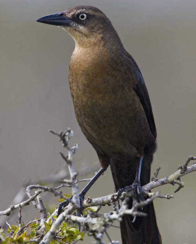 great-tailed_grackle_b57-5-138_l_1